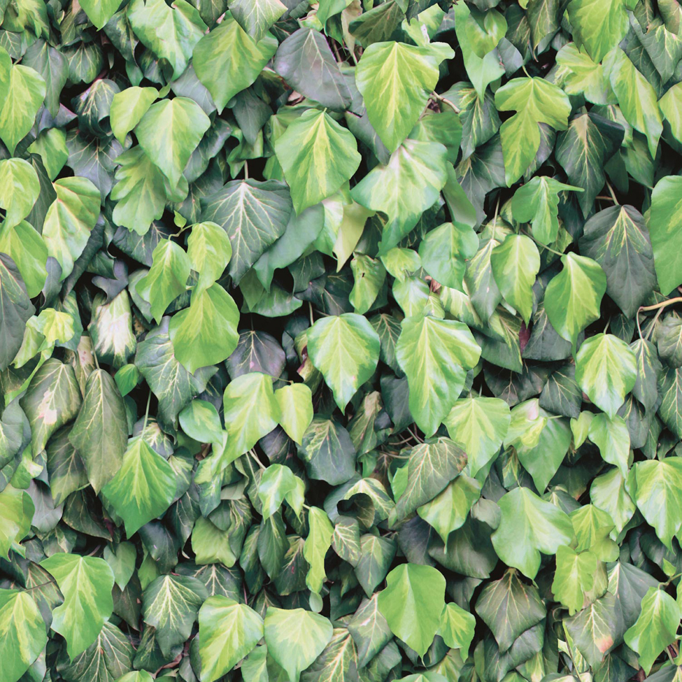 Mural Wallpaper Ivy Leaves Muriva J43404